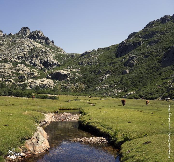 1ère rencontre avec les Pozzines et vache Corse en direction de Manganu © Sébastien TORCHIO, www.Annecy.Photo
