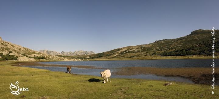 Vaches au bord du Lac Nino © Sébastien TORCHIO, www.Annecy.Photo