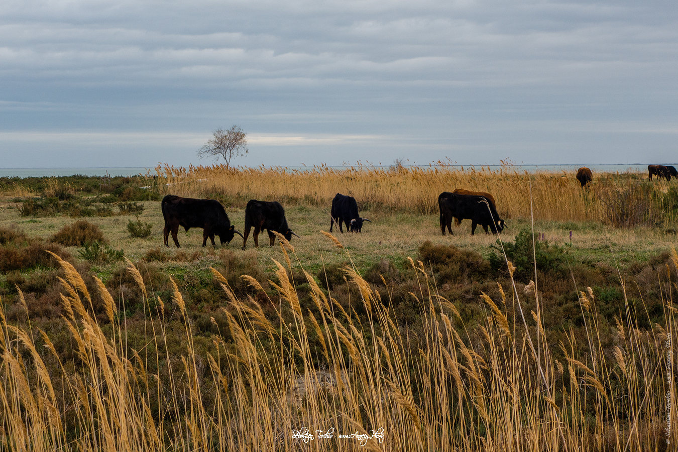 Vache Camarguaise - © Sébastien TORCHIO, www.Annecy.Photo