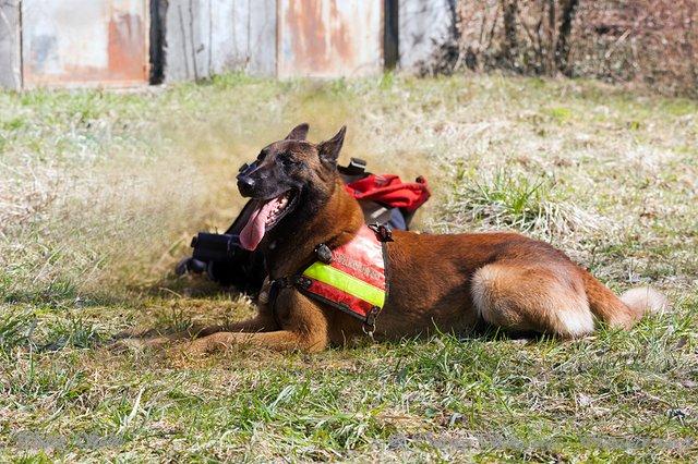 Chien de sauvetage et recherche des sapeurs-pompiers - © TORCHIO Sébastien