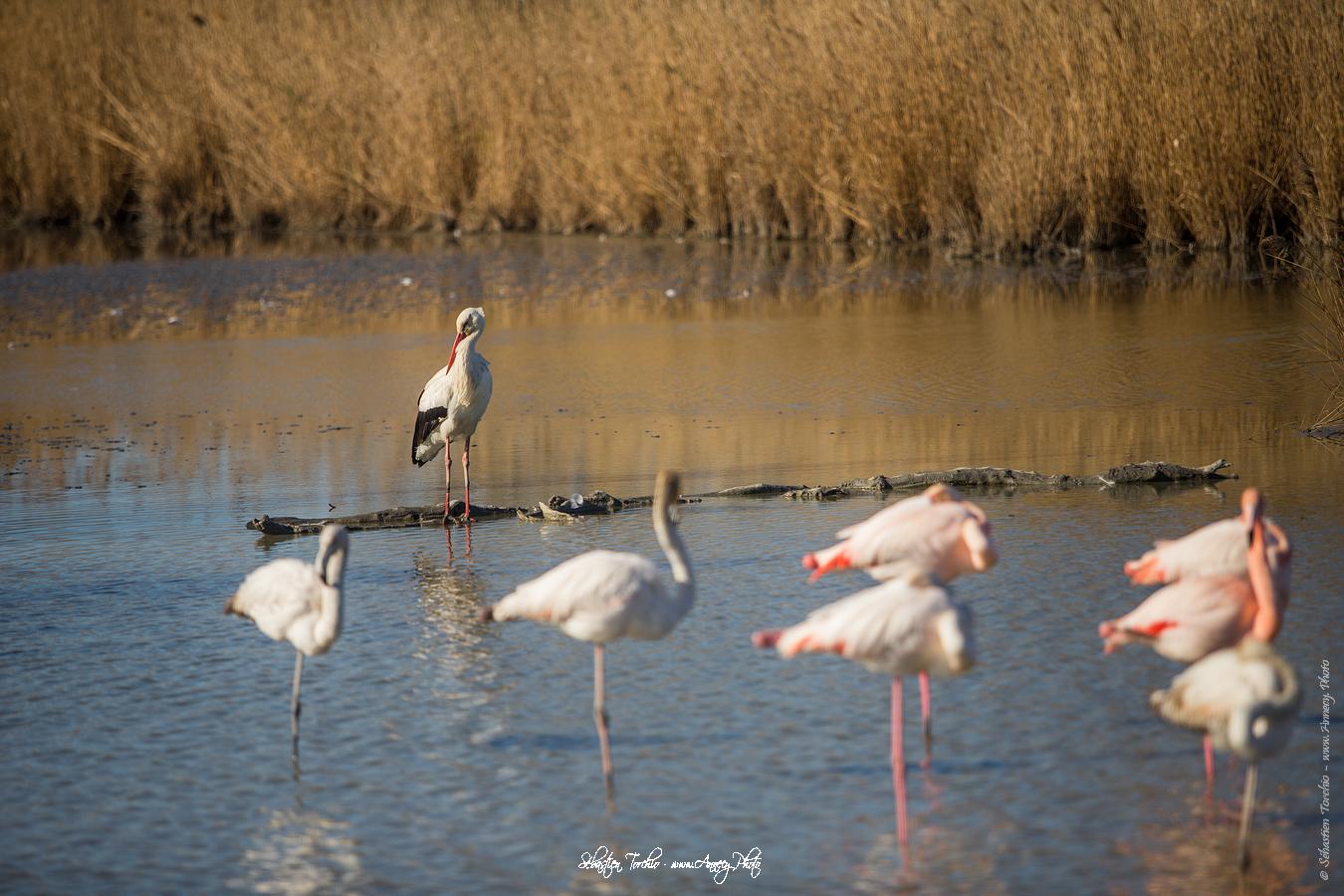 Cigogne Parc Naturel Régional de Camargue - © Sébastien TORCHIO, www.Annecy.Photo