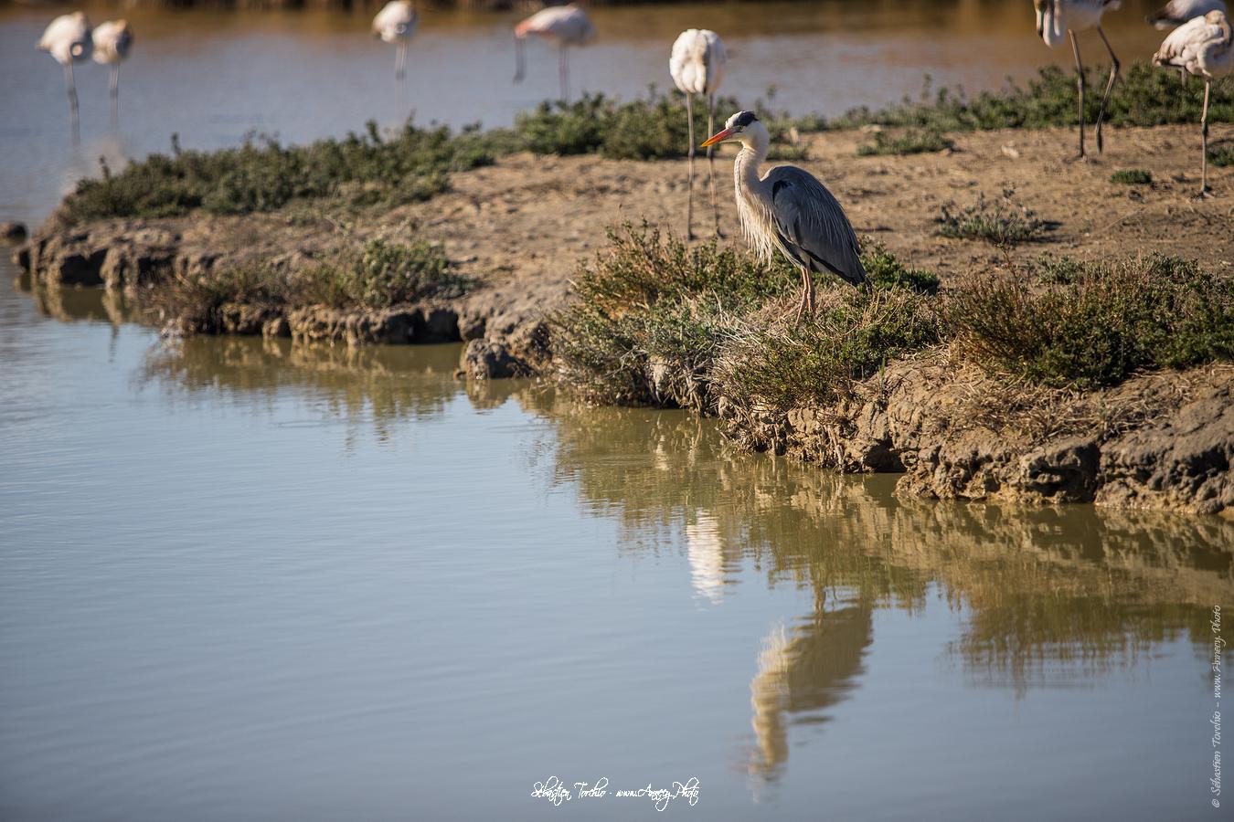 Héron Cendré Parc Naturel Régional de Camargue - © Sébastien TORCHIO, www.Annecy.Photo