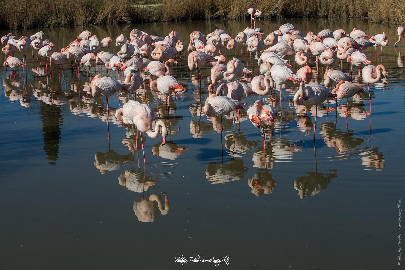 Flamant Rose Parc Naturel Régional de Camargue - © Sébastien TORCHIO, www.Annecy.Photo