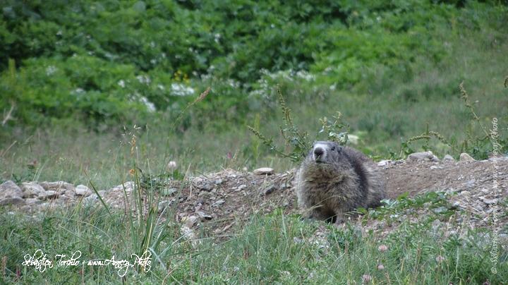 Les Marmottes sont bien représentées @ Sébastien TORCHIO, www.Annecy.Photo