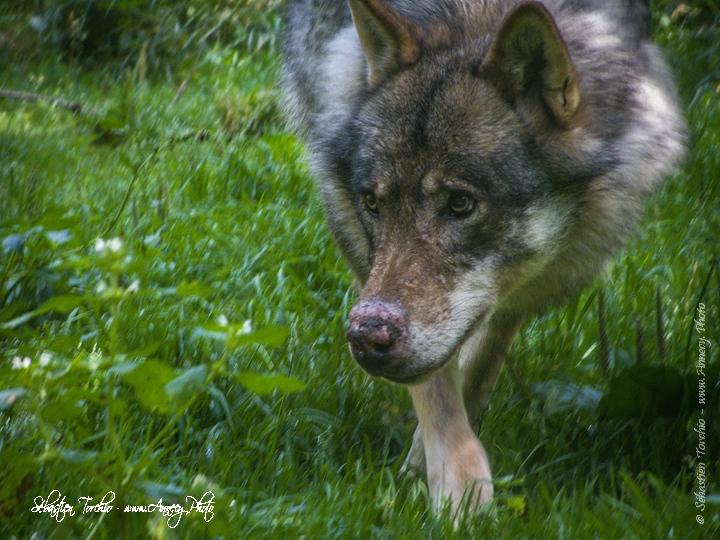 Loup du Parc National du Mercantour © Sébastien TORCHIO, www.Annecy.Photo