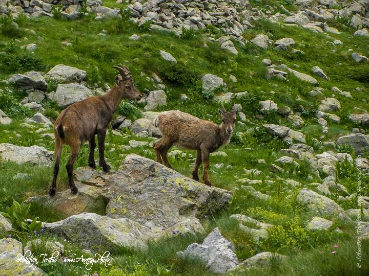 Bouquetins du Parc National du Mercantour © Sébastien TORCHIO, www.Annecy.Photo
