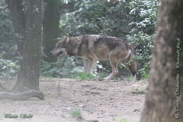 Loup en Haute-Savoie - © TORCHIO Sébastien