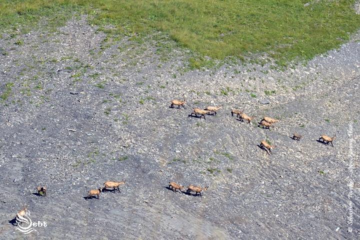 Harde de Chamois dans les Bauges - © Sébastien TORCHIO, www.Annecy.Photo